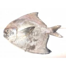 Chinese Pomfret | Bawal Tambak (250g± /fish)