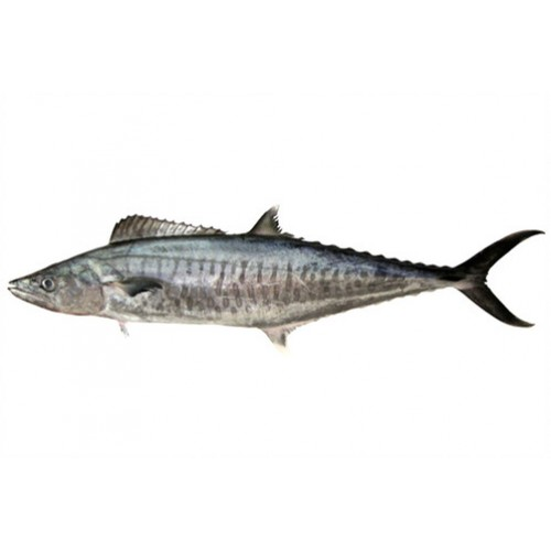 King Fish Mackerel   Tenggiri Batang (3kg± /fish)